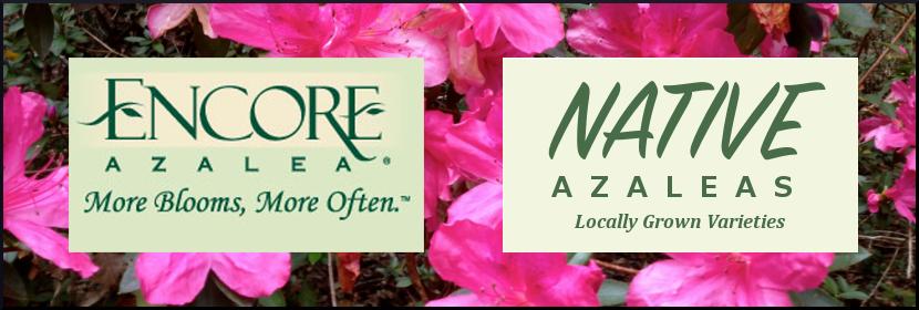 Azeala Banner Website