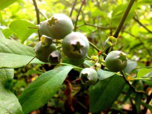 Blueberry_Vernon