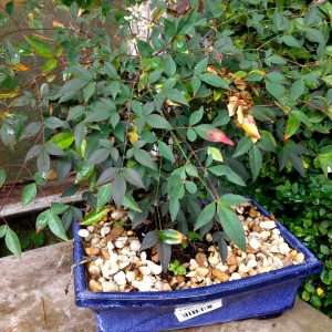 Bonsai_Nandina