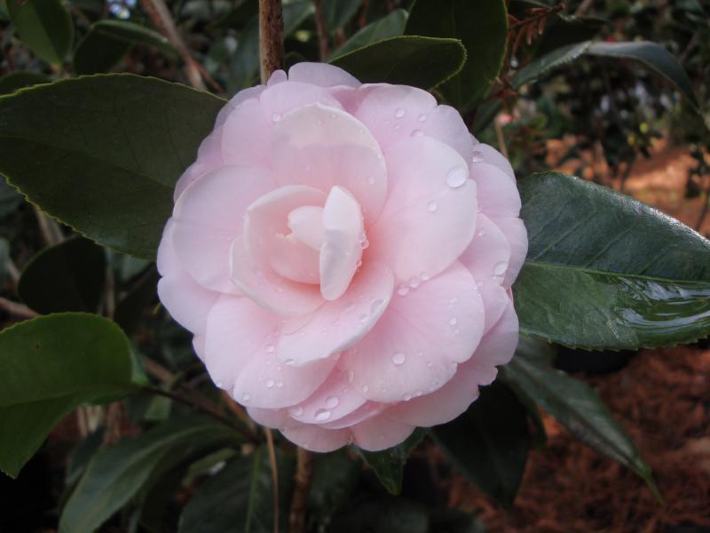 Camellia4