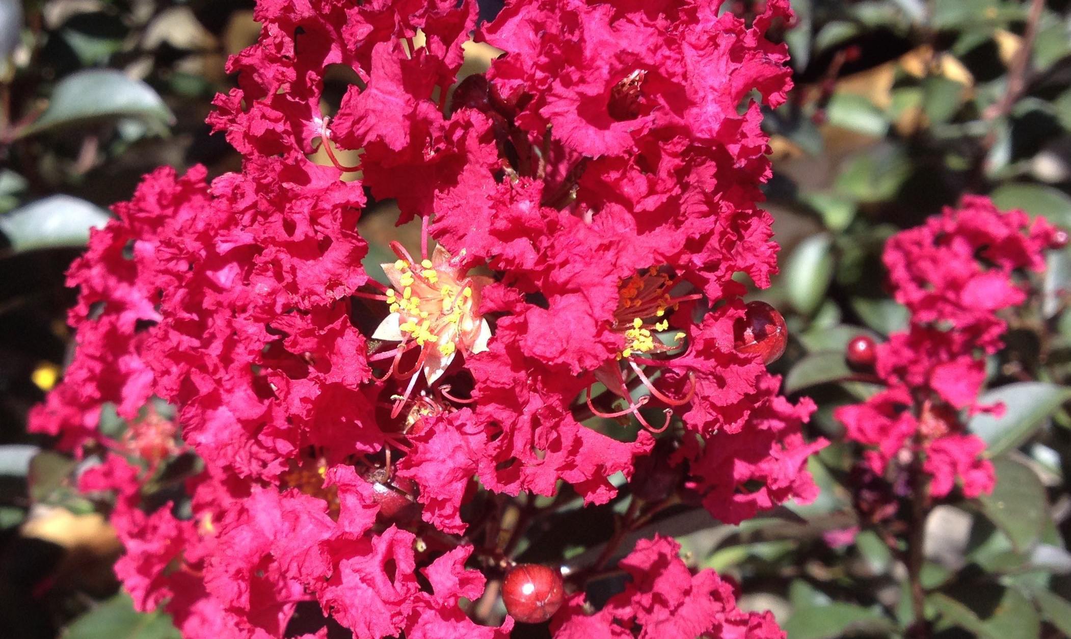 Crape Myrtle Blossum 2102x1254