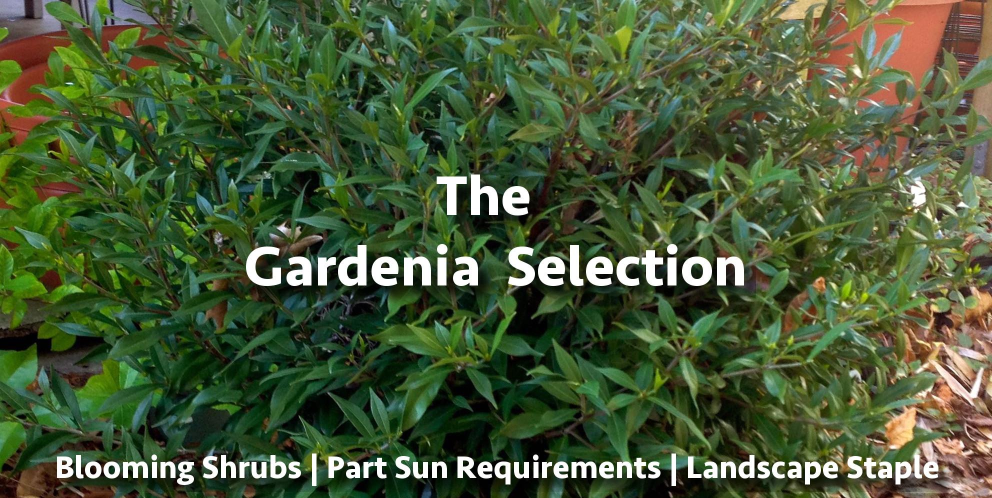 Gardenia Advert