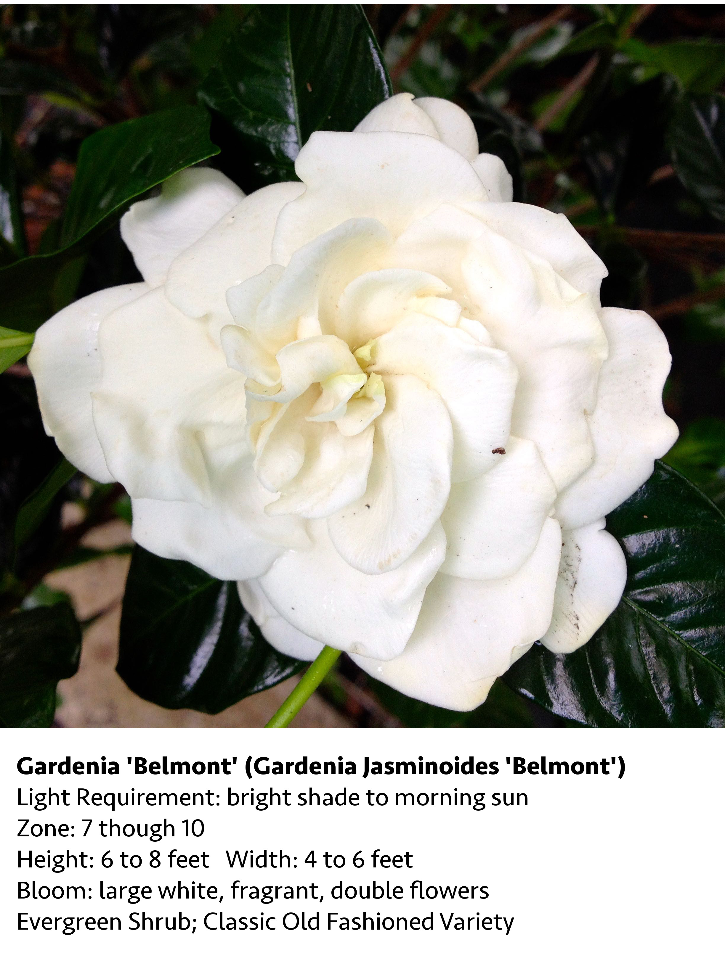 Gardenia_Belmont_Blog