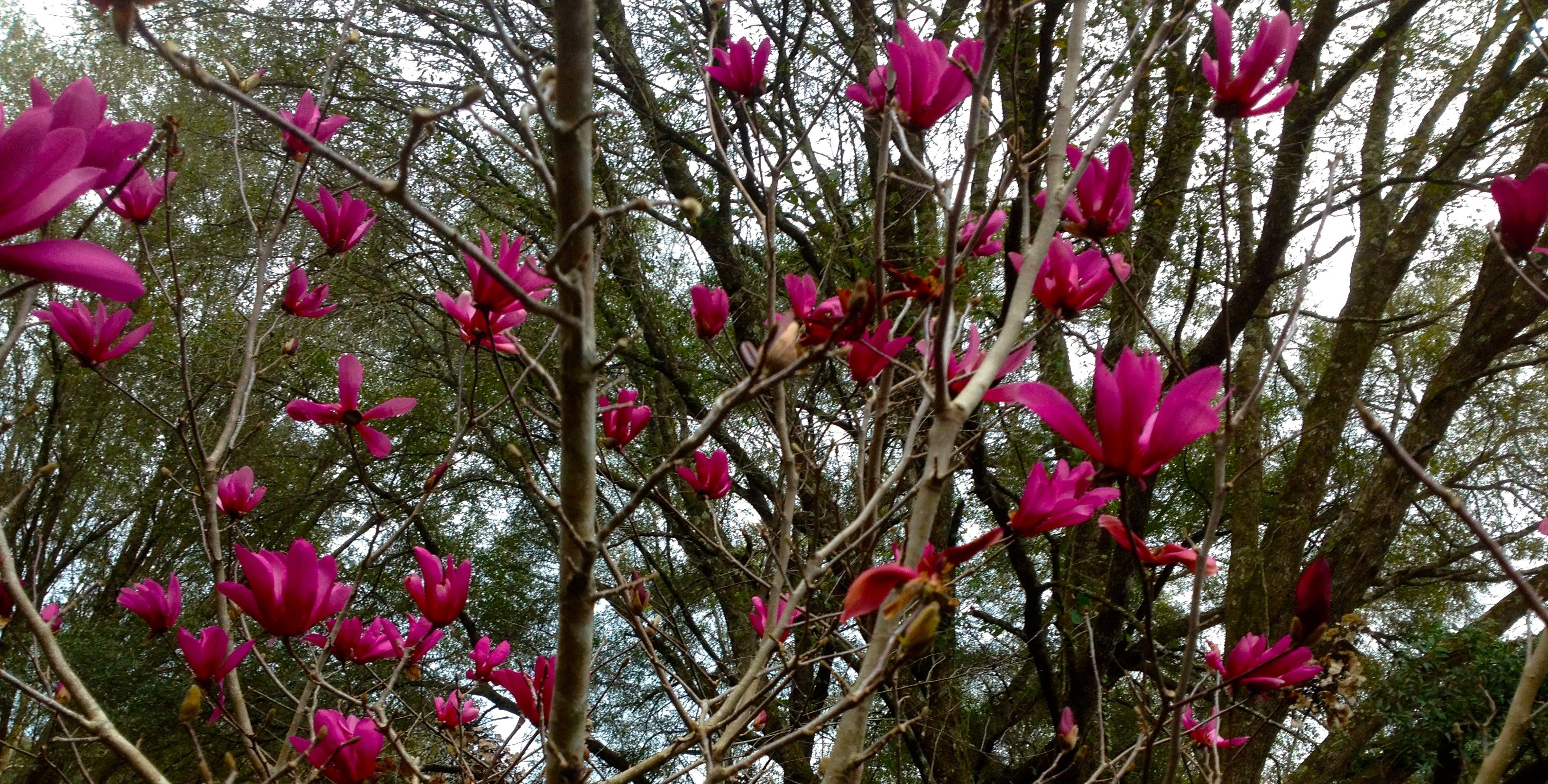 Amazing Magnolia_Flowering