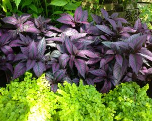 Shade gardening in florida garden gate nursery gainesville fl here at garden gate nursery we carry a diverse collection of quality perennial shade plants such as ferns jacobinias caladiums hostas and gingers that mightylinksfo