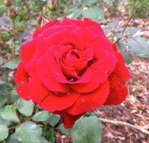 Rose_Don_Juan