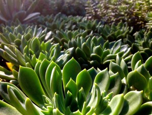 Here At Garden Gate Nursery, We Carry Several Different Varieties Of  Succulents And Other Drought Tolerant Plant Throughout The Year.