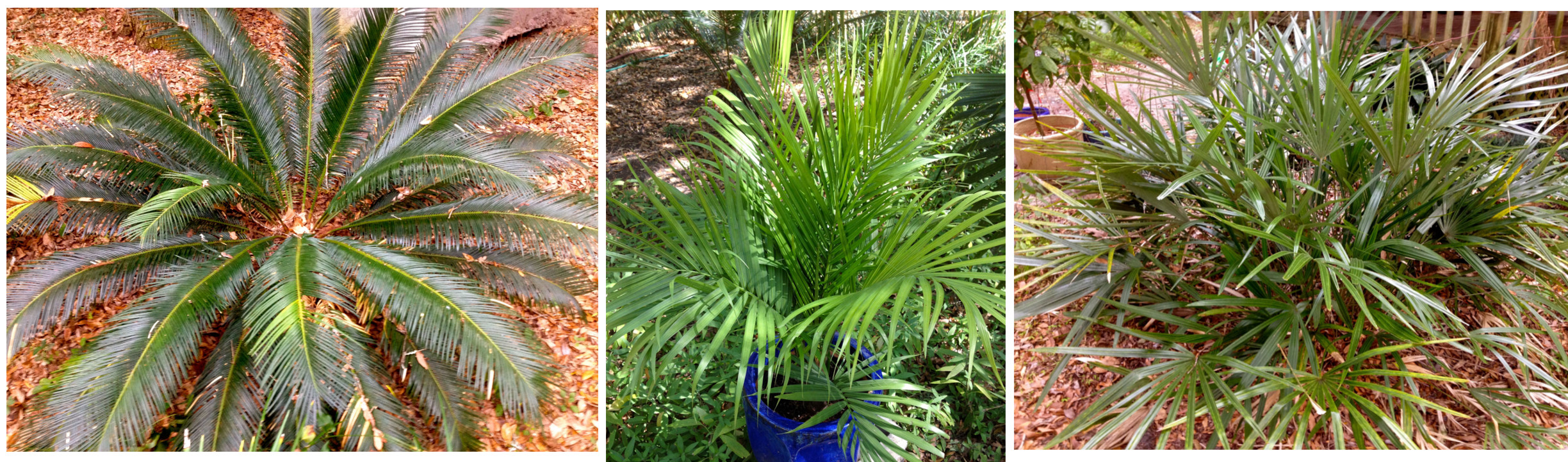 Palms | Garden Gate Nursery   Gainesville FL