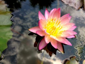 Water_Lilly_Shirley_Bryne