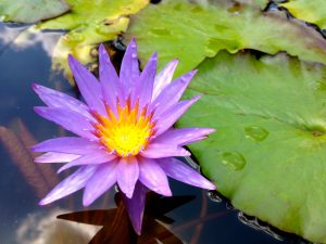 Water_Lily_A