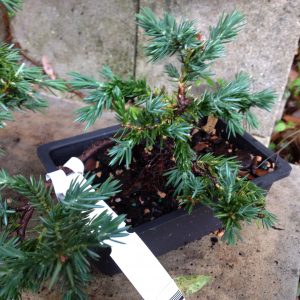 bonsai_juniper