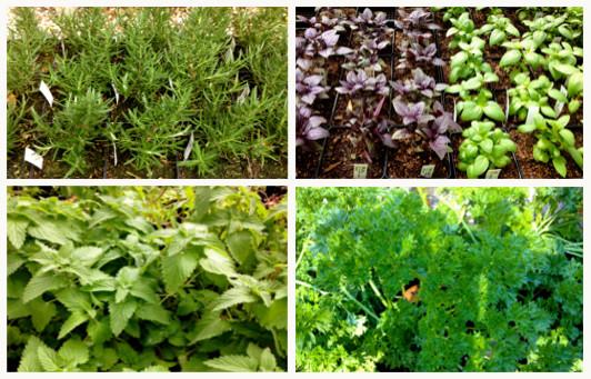 edibles_herbs